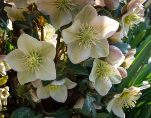 kevins-hellebore-collection-finegardening