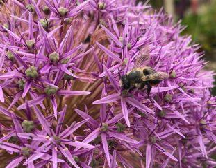 brian-minter-alliums-are-a-wonderful-garden-investment