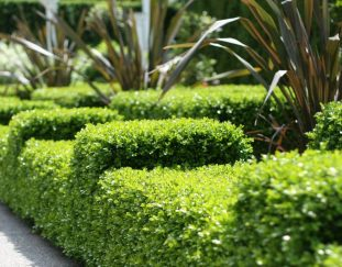 brian-minter-versatile-boxwoods-come-in-sizes-to-suit-every-purpose