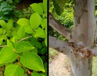 6-amazing-small-trees-finegardening