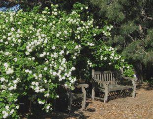 rejuvenation-pruning-for-northern-plains-shrubs