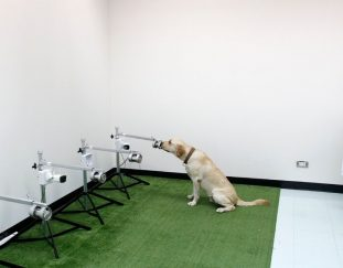 covid-sniffing-dogs-are-accurate-but-wide-use-faces-hurdles